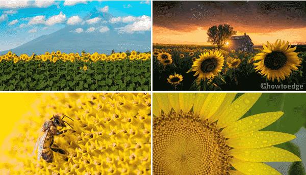 Sunflowers PREMIUM Windows 10 Theme